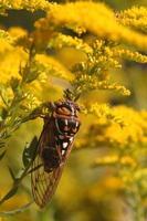 cicade foto