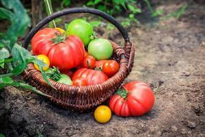 verschillende tomaten op de grond foto