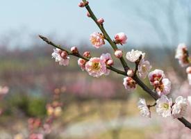 pruimenbloesem in het vroege voorjaar foto
