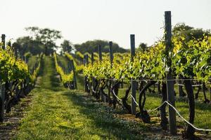 druiven wijngaard bij zonsondergang foto