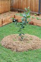 achtertuin citroenboom foto