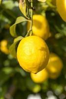 citroenboom, Mallorca, Balearen. foto