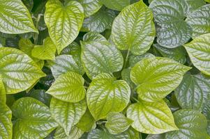 groene bladeren van piper betle of betel foto