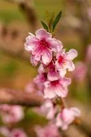 perzikboomgaarden in de lentebloei foto