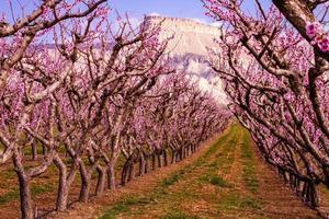 bloeiende perzikboomgaarden in palissaden co foto