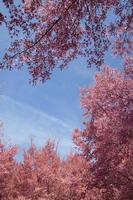 kersenbloesem bomen foto