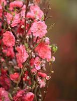 perzik bloem bloesem foto