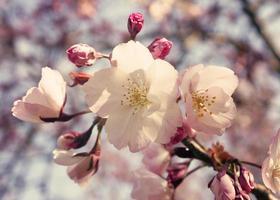 witte kersenbloesems foto