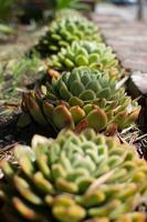 lijn van cactussen foto
