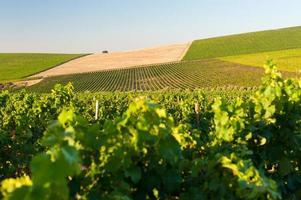 wijngaardlandschap met wijnstokken in de zomer, Zuid-Afrika foto