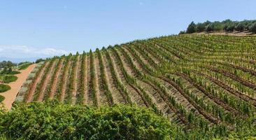 wijnstokken in Kaapstad, Zuid-Afrika foto
