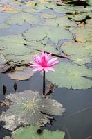 water lilly bloemen