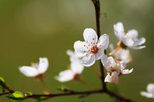bloeiende lente foto