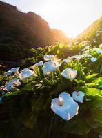 wilde calla lilly aan de kust van Californië foto