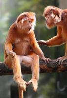 twee langurs bespreken. foto