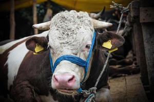verkoop van stieren voor eid al-adha in Istanbul. foto