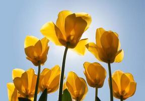 gele tulpen foto