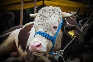 verkoop van stieren voor eid al-adha in Istanboel, Turkije.
