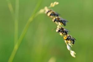 bijen zitten samen op een gras foto