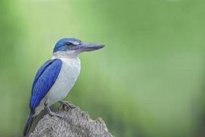 vogel (ijsvogel met kraag) zitstokken op de beste zemelen foto