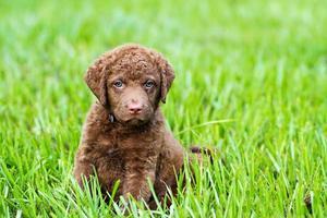 hond: retriever pup zittend in het gras foto