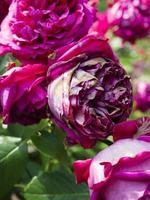 bloeiende roodachtig paarse roos.