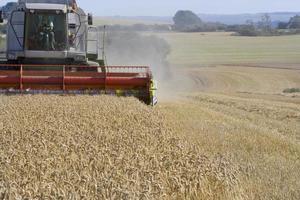 combineren tarwe oogsten in zonnige, landelijke veld