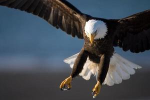 Amerikaanse zeearend klauwen foto