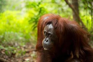 vrouwelijke orang-oetan. foto