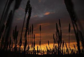veld in zonsondergang foto