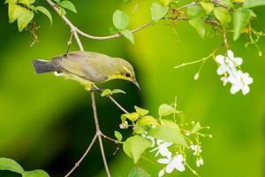 vrouwelijke sunbird met olijfkleurige rug foto