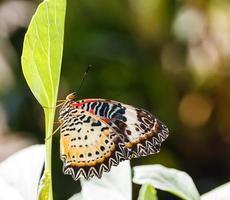 vrouwelijke luipaard lacewing (cethosia cyane euanthes) vlinder