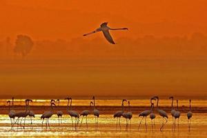 grotere flamingo's foto