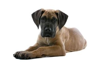 great dane puppyhond