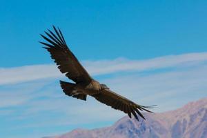 condor vliegen over colca canyon, peru, zuid-amerika. foto