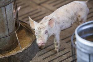 kleine varkens foto