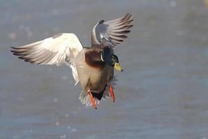 wilde eend vliegen foto