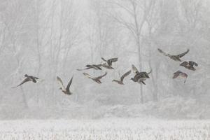 eenden in de sneeuw foto