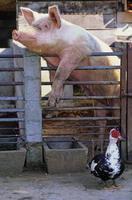 cochon et canard dans la basse-cour foto