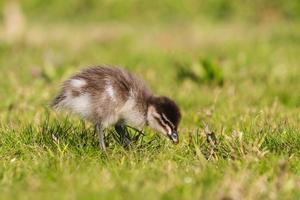 klein eendje op gras foto