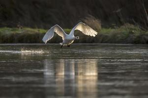 zwaan die over een vijver vliegt foto