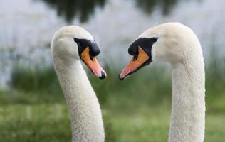 twee zwanen in de natuur foto