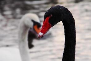 zwarte zwaan foto