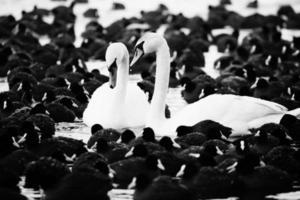 witte zwanen op een meer, rond veel meerkoeten. foto