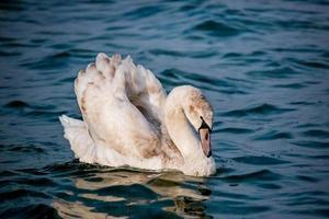 zwanen en andere watervogels op zee foto
