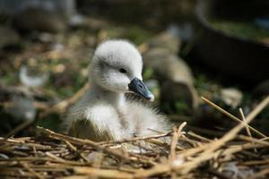 baby zwaan in nest foto