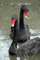 zwarte zwanen foto