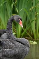 zwarte zwaan - portret foto