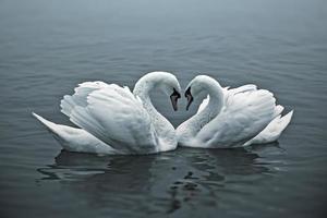 liefdevolle zwanen foto