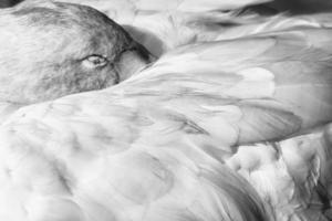 zwaan slapen foto